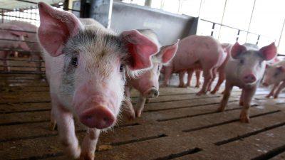 Schweinepest in China – Deutschlands Landwirte profitieren