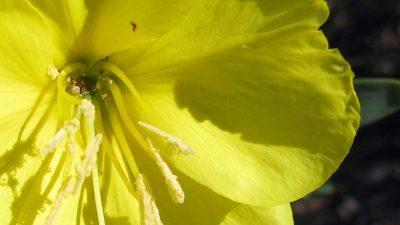 """Pflanzen können """"hören"""" – Bienengeräusche sorgen für süßeren Nektar"""