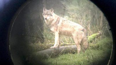 Genehmigung für Wolfsabschuss in Schleswig-Holstein
