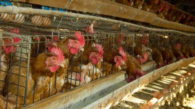 Geflügelwirtschaft fürchtet Zusammenbruch der Tierhaltung