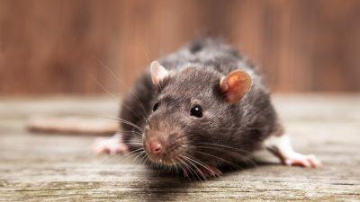 Rattenplage in Nordchina: Interne Dokumente belegen 21 Beulenpest-Ausbrüche unter Tieren