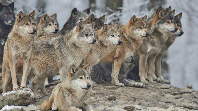 Ein Witz vom Truppenübungsplatz: Wölfe kennen die Schießzeiten besser als mancher Soldat