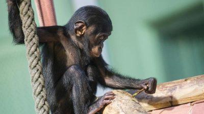 Bullmastiff-Hündin rettet einem kleinen Schimpansenbaby das Leben