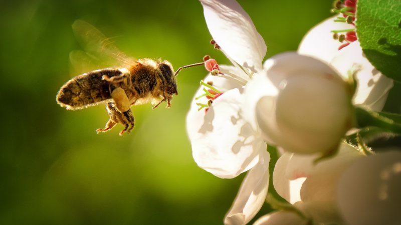 Bienen an einer weißen Blüte im Frühling