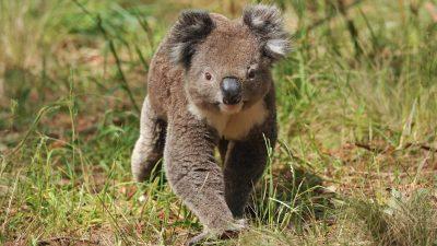 Tierischer Mitfahrer – Koala schleicht sich in Auto und genießt kühle Luft der Klimaanlage