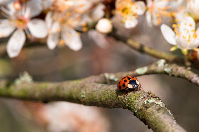 Marienkäfer auf Apfelbaum
