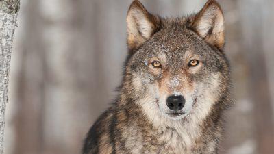 Wie viele Wölfe braucht Deutschland?