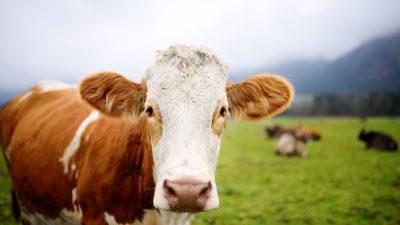 Kuh brach nach Geburt zusammen – Ein Mann legte sich zu ihr und tröstete sie