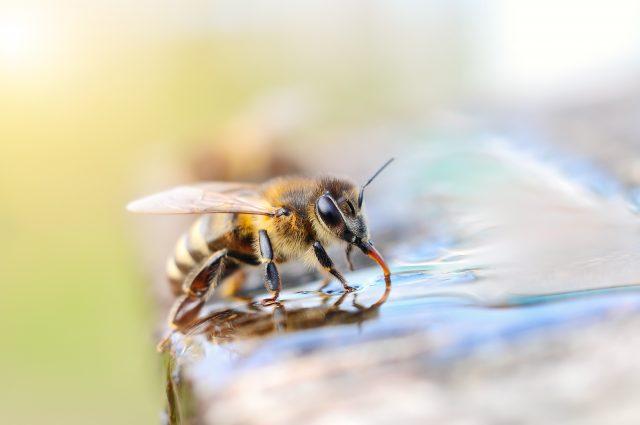 Auch Bienen müssen trinken.