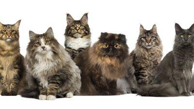 Zum Tag des Haustieres: Welche Katzenrasse ist am beliebtesten?