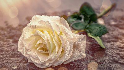 Das Rosen-Innere – Von Rainer Maria Rilke