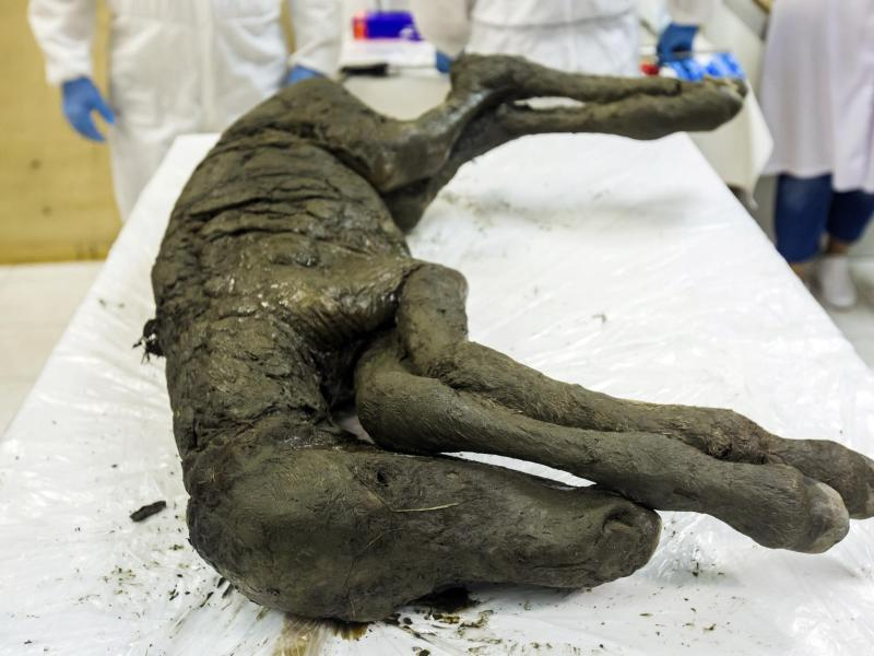 "Flüssiges Blut in 42.000 Jahre altem ""Fohlen aus dem Eis"" entdeckt. Nächster Schritt: Klonen?"