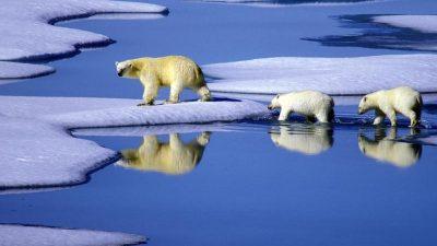 Eisbären im hohen Norden profitieren vom dünner werdenden Eis