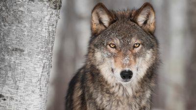 Wölfe reißen immer mehr Nutztiere: Regierung vor Abschuss-Einigung