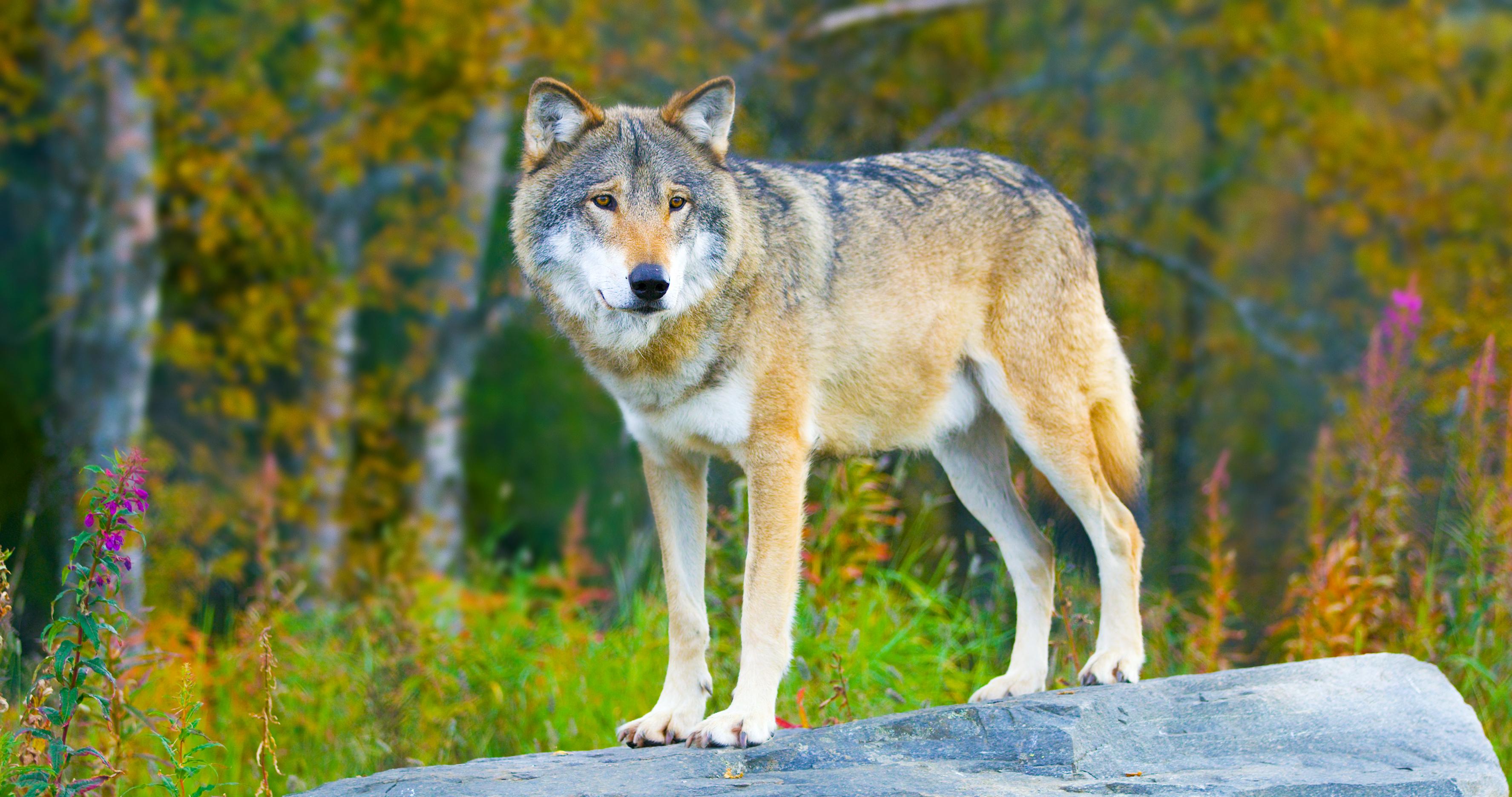 """Über 1.000 heimische Wölfe in Deutschland – """"breiten sich sehr dynamisch aus"""""""