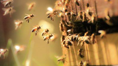 Honigbienen tanzen Dialekt – Zweifel daran endlich beseitigt
