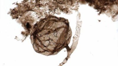 900 Millionen Jahre alte Pilze stellen Theorie zur Entstehung irdischen Lebens in Frage