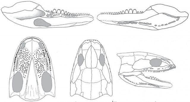 """Acherontiscus caledoniae, der Tetrapode mit den """"beispiellosen Zähnen""""."""