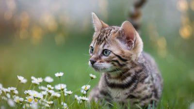 Studie: Katzen können sich mit SARS-CoV-2 infizieren und übertragen – zeigen aber keine Symptome