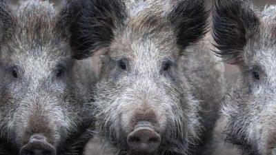 Bundesjägertag: Mit Pfeil und Bogen Wildschweine in Stahnsdorf bei Potsdam jagen?
