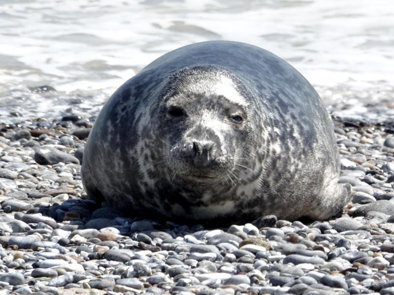 Auf Helgoland kommen sich Robben und Menschen nah