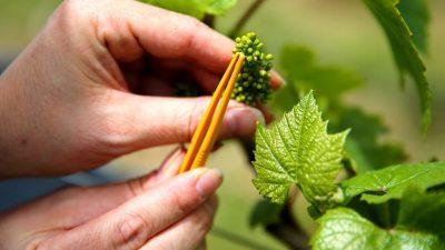 Hitzewelle in Frankreich schmälert diesjährige Weinproduktion deutlich
