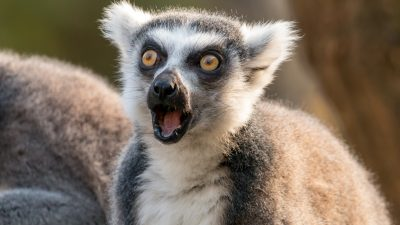 Auf der Suche nach einem Haustier: Mann stielt seltenen Lemuren aus kalifornischem Zoo