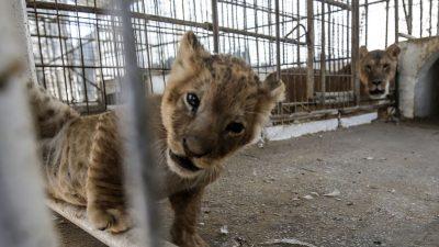 """108 ausgemergelte Löwen aus """"Zuchthaus"""" in Südafrika gerettet – Nur für ihre Knochen gezüchtet"""