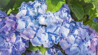 Blaue Hortensie – Von Rainer Maria Rilke