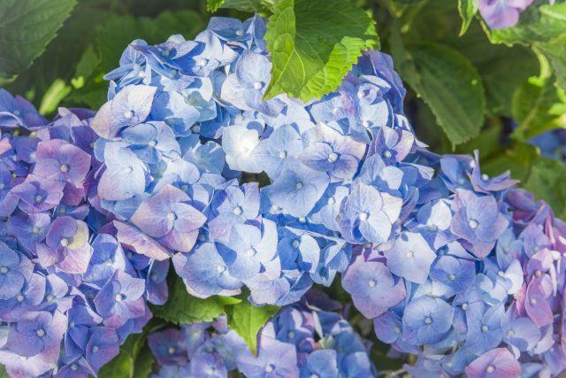 Blaue Hortensie - Von Rainer Maria Rilke