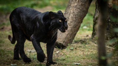 Die begehrteste Katze Frankreichs: Eingefangener Panther wurde nun aus Zoo gestohlen