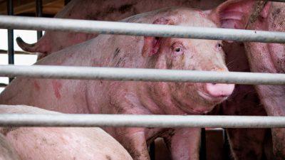 Schweinehalter befürchten Höfesterben