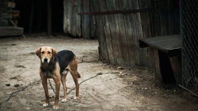 """Für Menschen zu gefährlich: """"Unnahbarem"""" Hund die Beine gebrochen – zum Sterben angekettet"""