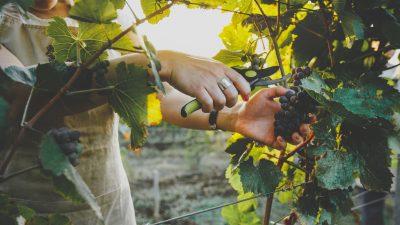 Deutschland: Weinlese hat begonnen – gute Qualität, bei weniger Ertrag