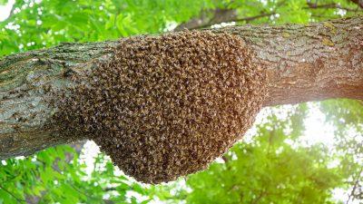 Indien: Bienenschwarm auf Cockpit-Scheibe sorgt für stundenlange Flugverspätung