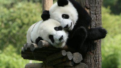 "Bunte Hunde in China: Diese ""Panda-Babys"" bellen nach dem Besuch im Hundecafé"
