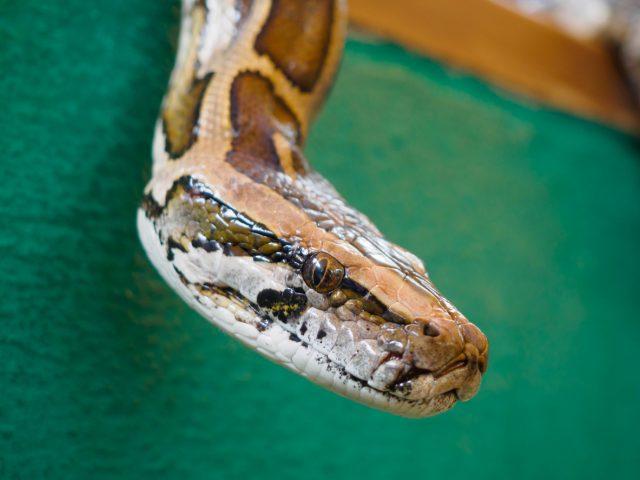 England: Lebendige Schlange als Mund-Nasen-Bedeckung im Bus ist unzulässig