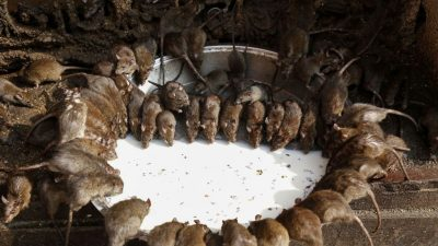 Der Schwarze Tod in China: Ausbreitung der Pest befürchtet – Ratten in Xilin Gol außer Kontrolle