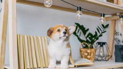 Des Pudels Kern: Wie viele Hunde sind nötig, um eine Glühbirne zu wechseln?