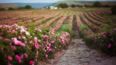Musik am Abend: Rosen aus dem Süden
