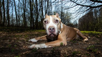 """Im Park ausgesetzt: """"Kampfhund""""-Pitbull wärmt sterbende Gefährtin bis Hilfe kommt"""