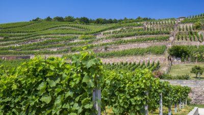 Exportschlager: Sächsischer Wein – Ein Baumaschineningenieur folgt seiner Leidenschaft