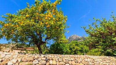 Kennst du das Land, wo die Zitronen blühn? – Von Johann Wolfgang von Goethe