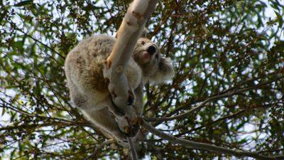 Australierin rettete verbrannten Koala vor dem Buschfeuer mit ihrem Oberteil