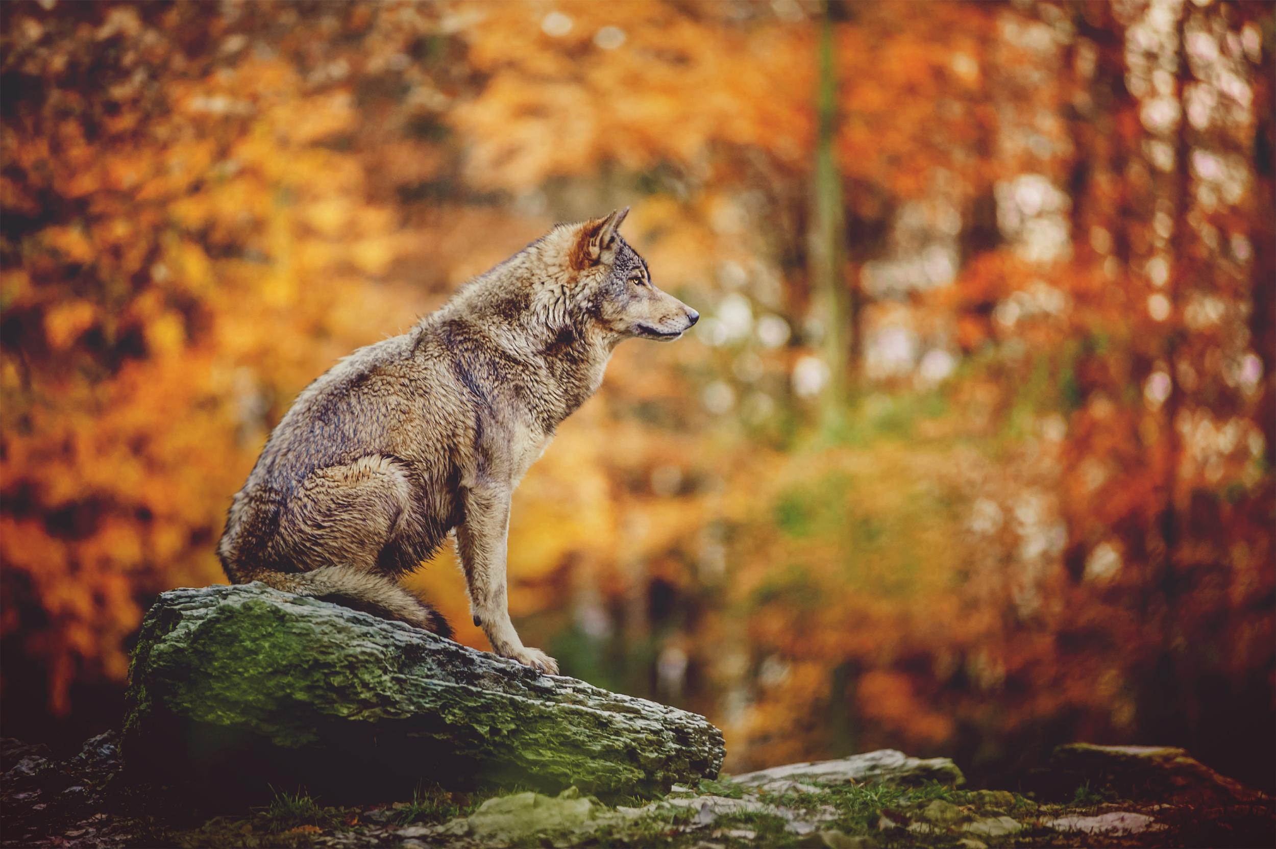 Wolf-Alarm: Wald-Kita geschlossen, Bewohner vor Wald gewarnt – Gesetz soll Abschuss erleichtern