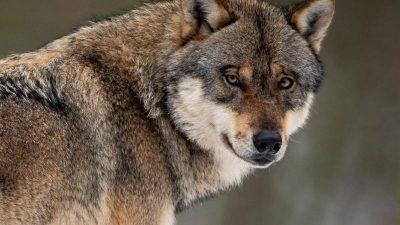 Bundestag beschließt Neuregelung zum Abschuss von Wölfen
