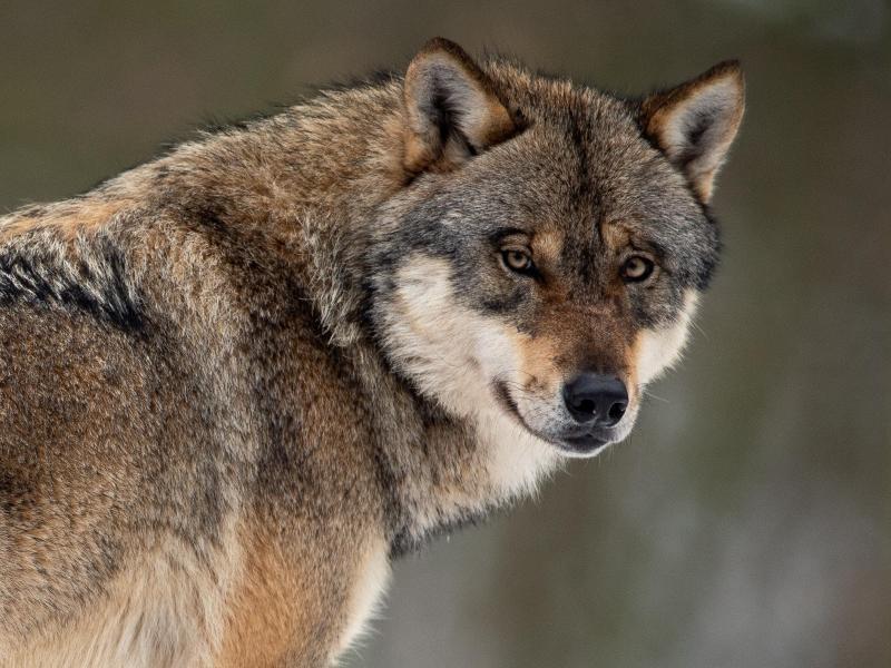 Aus mit der Wolfsromantik? Immer mehr Existenzen bedroht