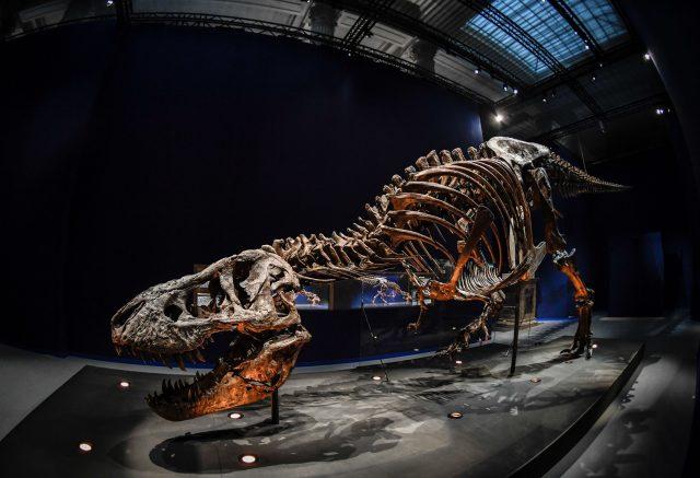 Skelette eines T. rex
