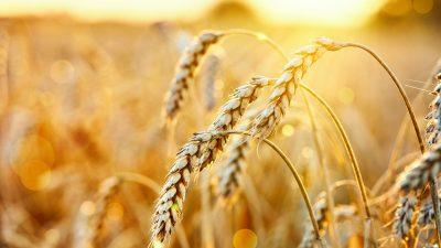 5200 Jahre altes Getreide datiert Austausch von Nutzpflanzen um 1000 Jahre zurück