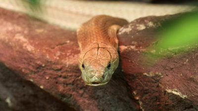Exotischer Tiermarkt in Wuhan: Coronavirus stammt vermutlich von Schlangen